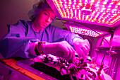 Scientist harvesting shungiku plants