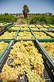 Grape farming, Israel