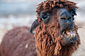Alpaca and llama farm, Israel