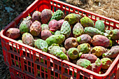 Prickly pear farming, Israel