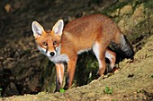 Adult fox