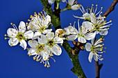 Blackthorn blossom (Prunus spinosa)