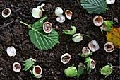 Hazel nuts (Corylus avellana)