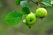 Crab apples (Malus sylvestris)
