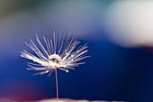 Dew drop on dandelion seedhead