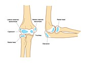 Elbow secondary centres of ossification, illustration