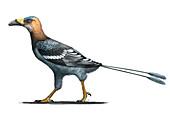 Falcatakely prehistoric bird, illustration
