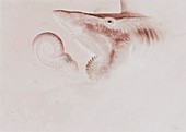 Helicoprion prehistoric shark, illustration