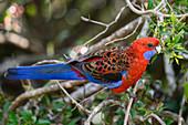 Crimson rosella parrot