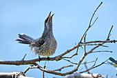 Little wattlebird