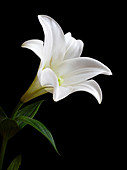 Easter lily (Lilium longiflorum) flower