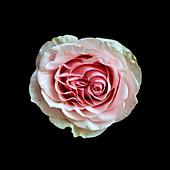 Pale pink rose (Rosa) flower