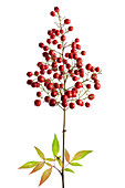 Heavenly bamboo plant (Nandina domestica)
