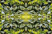 Laurel (Laurus sp.) leaves, abstract image