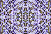 Wisteria flowers, abstract image