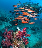Shoal of pinjalo snappers, composite image