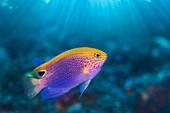 Princess damsel fish