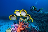 Black-backed butterflyfish, composite image