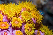 Gracile cup coral