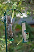 Grey squirrel and rose-ringed parakeets