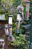 Grey squirrels on bird feeders