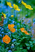 Welsh poppy (Papaver cambricum) and forget-me-nots