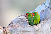 Little lorikeets