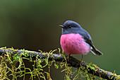 Rose robin