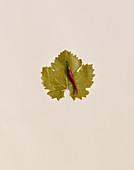 Weinblatt und Chilischote