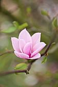 Rosa Magnolienblüte