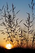 Wiesengräser vor untergehender Sonne