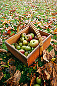 A wooden basket with freshly harvested apples in a leafy meadow