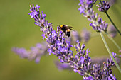Hummel an Lavendel