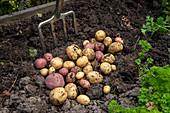 Potato harvest in the allotment garden