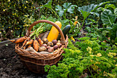 Harvest potatoes, zucchini and carrots in the allotment garden