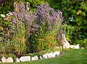 Lavendelbüsche zusammengebunden