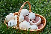 Freshly picked Agaricus campestris mushrooms in a basket