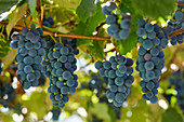 Tonel of Concord grapes in the garden outside