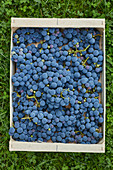 Wood punnet of concord grapes