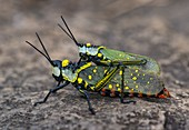 Yellow spotted grasshoppers mating