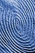 The structure of a human fingerprint