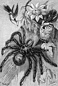 Giant tarantula, 19th century illustration