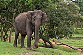 Female Indian elephant