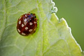 Cream spot ladybird