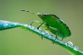 Common green shieldbug
