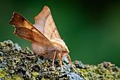 Dusky thorn moth