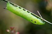 Elephant hawkmoth caterpillar