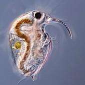 Bosmina water flea, LM