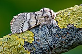 Lunar marbled brown moth