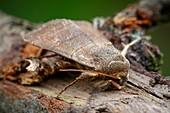 Treble lines moth